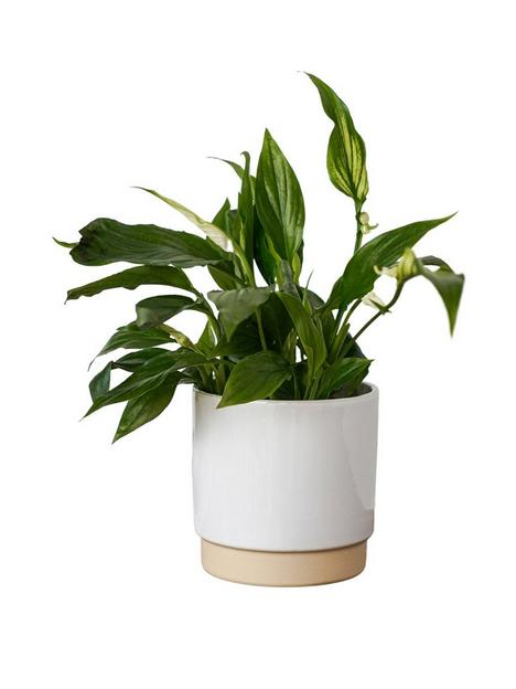 ivyline-enos-white-planter-with-peace-lilly-plant